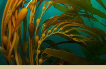 Facts about Giant Kelp