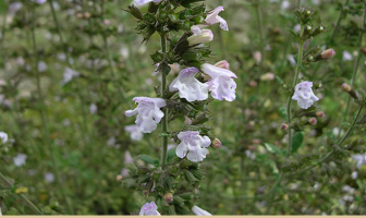 Facts about Lesser Calamint