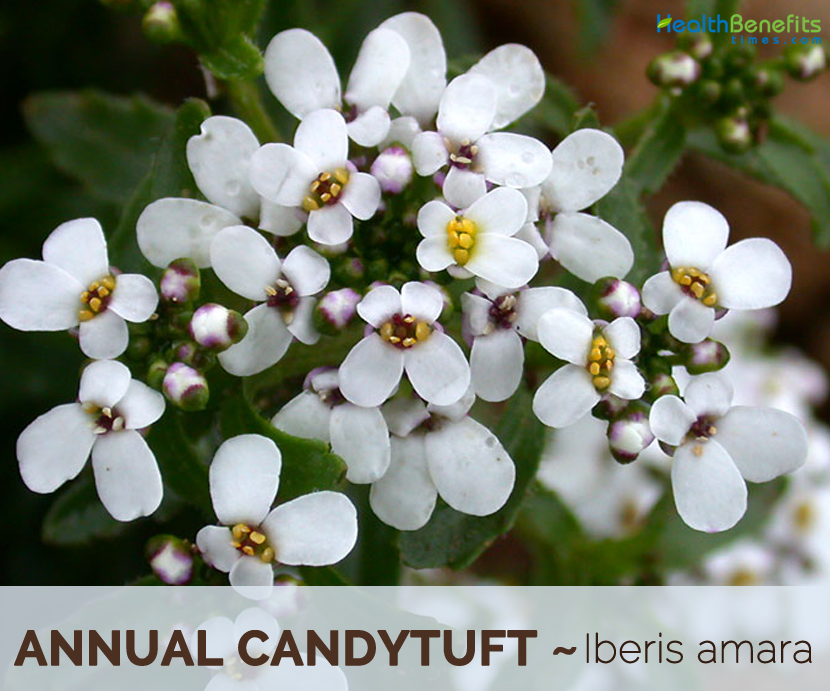 Facts and Benefits of Annual Candytuft