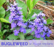 Facts and benefits of Bugleweed