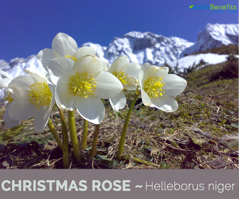Know about Christmas Rose (Black Hellebore)