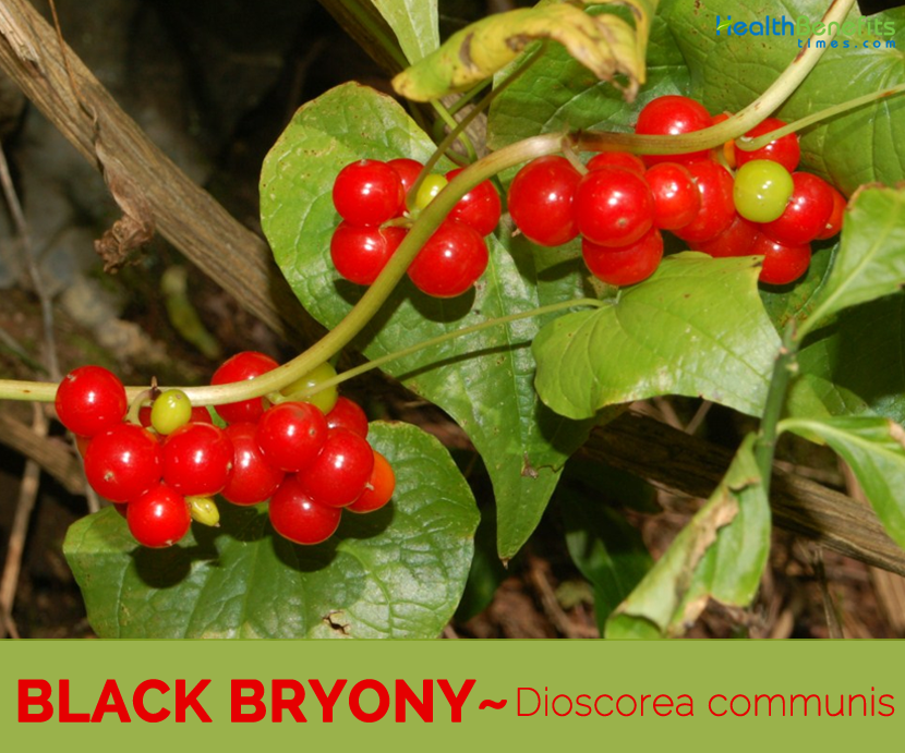 Know about the Black Bryony (Ladies Seal)