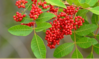 Know about the Brazilian Pepper Tree