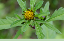 Know about the Bur Marigold