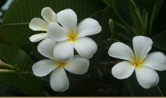 Know about the Singapore Plumeria