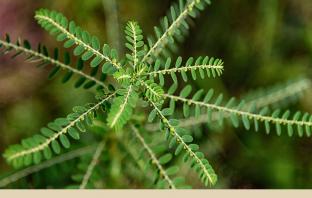 Stone Breaker: Herb for Kidney Stones