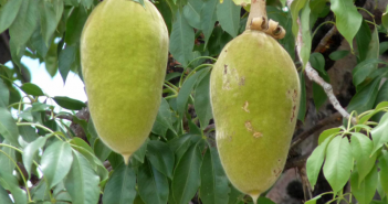 Baobab facts and uses