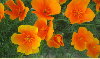 Facts about California Poppy