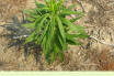 Facts about Canadian Horseweed