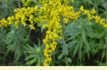 Facts about Canadian goldenrod