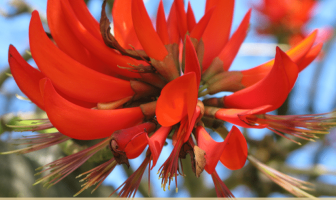 Facts about Coral Tree