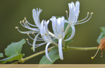 Facts about Honeysuckle