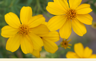 Facts about Mexican marigold