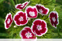Facts about Sweet William