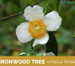 Facts about the Ironwood Tree