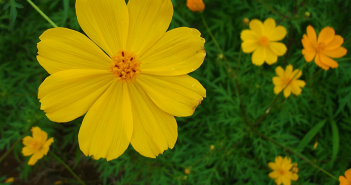 Facts about the Yellow Cosmos