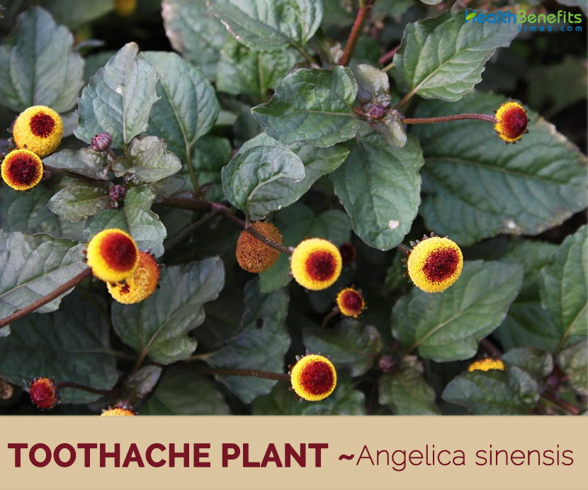 Health-benefits-of-Toothache-Plant