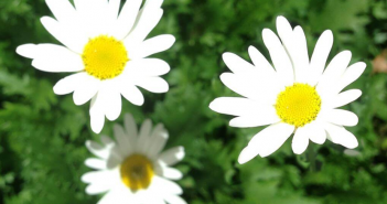 Know Marguerite Daisy
