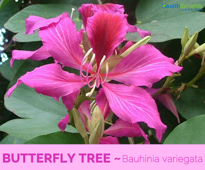Know about Butterfly Tree