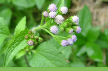 Know about Whiteweed