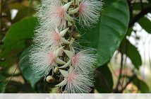 Facts about Powder Puff Tree