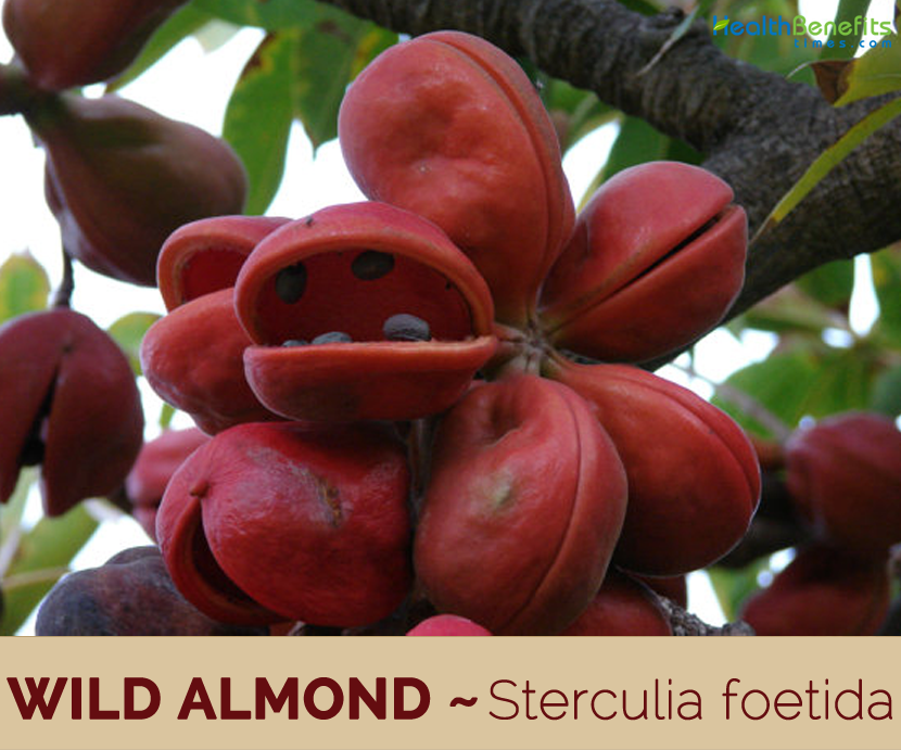Facts about Wild Almond