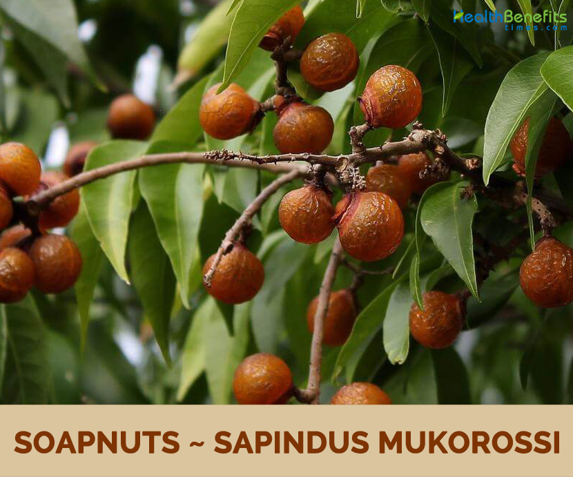 Benefits and uses of Soap Nut (Soapberry)