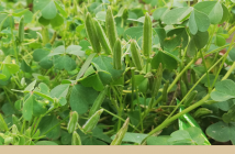 Creeping Wood Sorrel facts and benefits