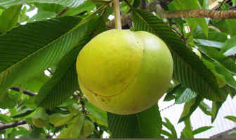 Elephant Apple amazing facts