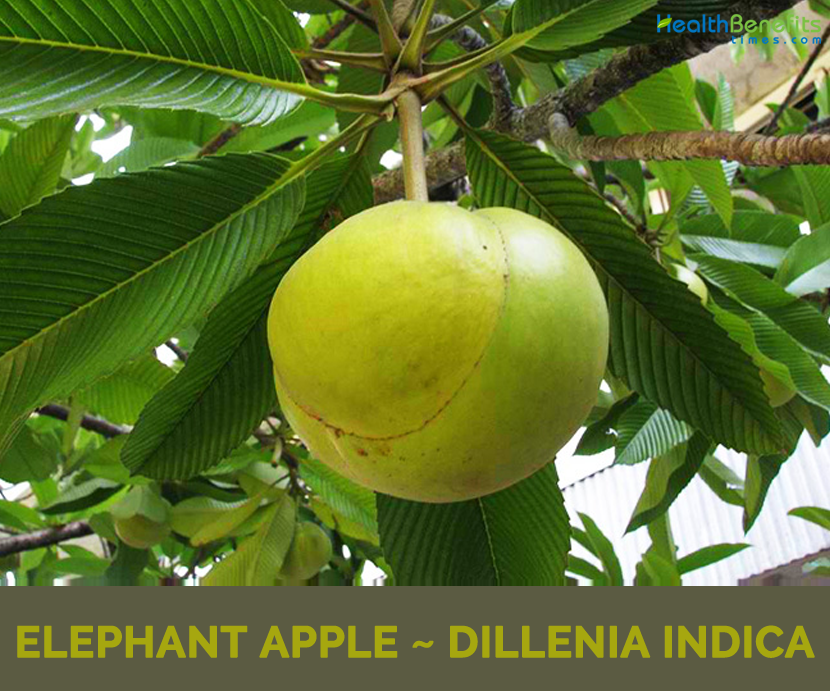 Elephant Apple faits étonnants &quot;width =&quot; 830 &quot;height =&quot; 691 &quot;/&gt; </a><br />       </p> <div id=