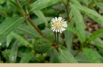 False daisy (bhringraj) Health benefits and factsFalse daisy (bhringraj) Health benefits and facts