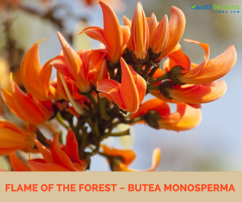 Flame of the Forest: Benefits and medical uses