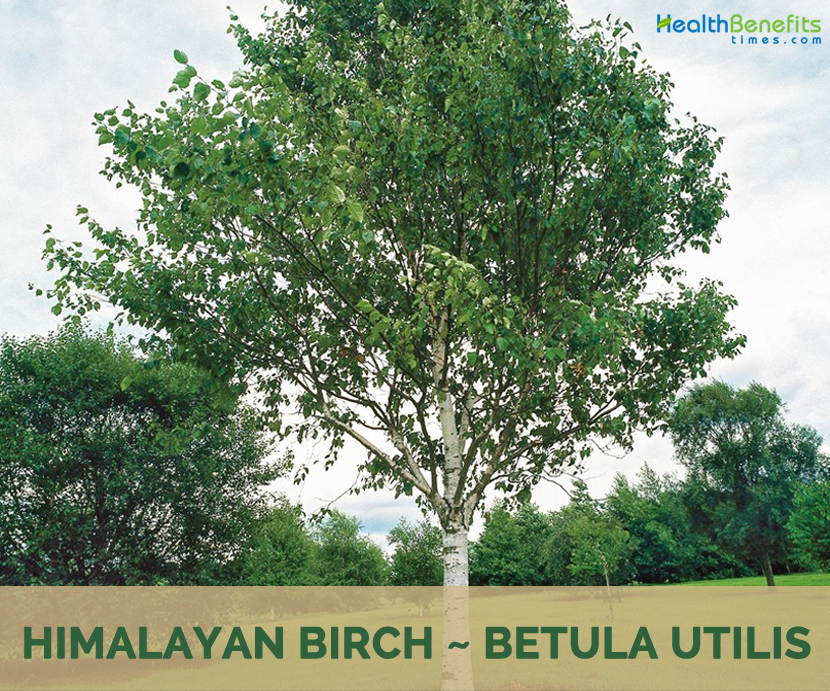 Himalayan Birch health benefits