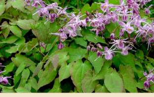 Horny goat weed (Barrenwort) facts and benefits