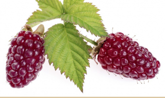 Loganberry benefits and nutrition facts