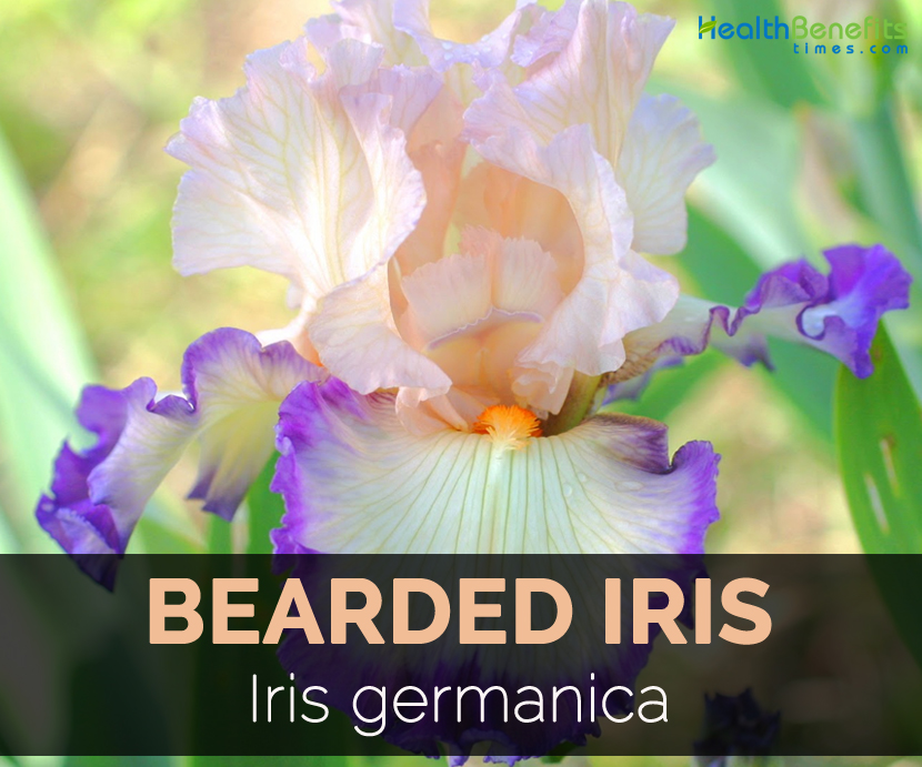 Bearded Iris Facts And Health Benefits