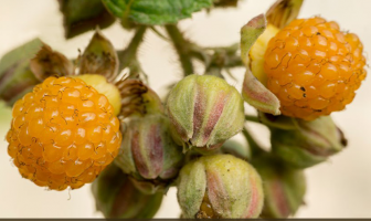 Yellow himalayan raspberry facts and benefits