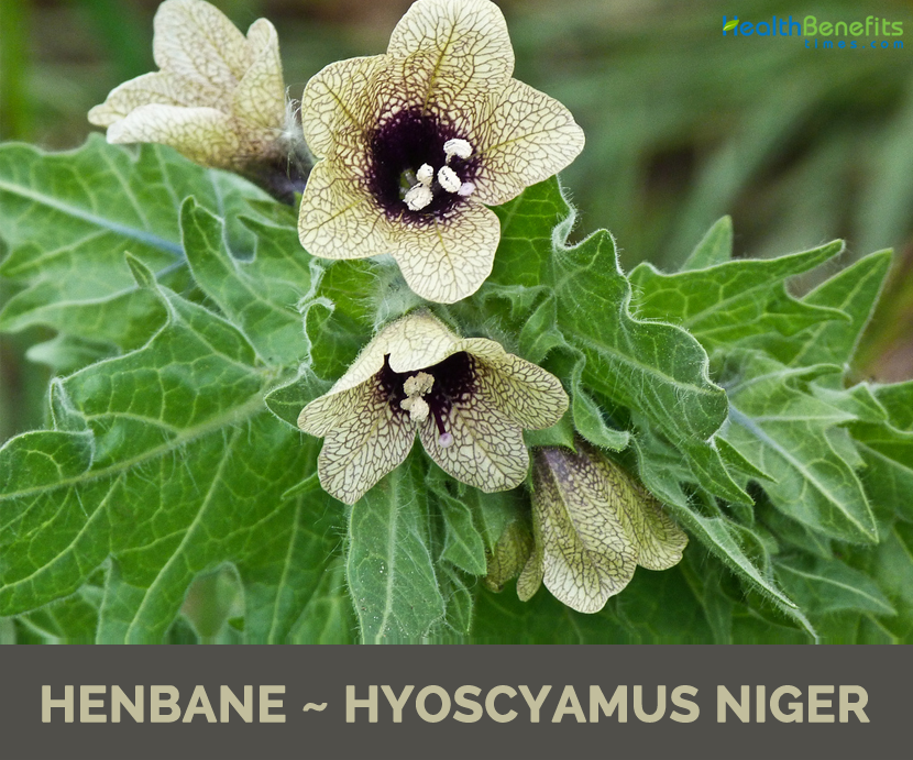 All about Henbane