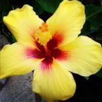 Beauté de la plage &quot;width =&quot; 150 &quot;height =&quot; 150 &quot;/&gt;</a></p><p>La beauté de la plage est une grande fleur de 8 pouces dans des anneaux de jaune doré, blanc et rose bonbon. La fleur a un œil rouge vif avec des nuances d&#39;orange sur les bords.</p><p> <strong>21. Cœur secret</strong></p><p> <a href=