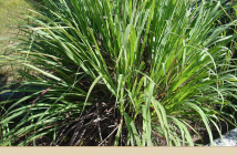 Camel Grass uses and benefits