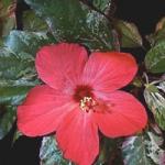 Hibiscus à carreaux &quot;width =&quot; 150 &quot;height =&quot; 150 &quot;/&gt;</a></p><p>Il est de couleur pourpre hibiscus appartient à la famille des Malvaceae. Il a des feuilles vert foncé avec un feuillage brillant et la fleur fleurit dans les couleurs roses, rouges, blanches et crème. La fleur a un diamètre d&#39;environ 4 pouces et semble d&#39;une beauté frappante.</p><p> <strong>11. Hibiscus hawaïen</strong></p><p> <a href=