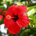 Chine a augmenté &quot;width =&quot; 150 &quot;height =&quot; 150 &quot;/&gt;</a></p><p>La rose chinoise est aussi connue sous le nom de plante à noircir, car ses fleurs sont utilisées dans les tropiques pour polir les chaussures. C&#39;est un arbuste asiatique populaire qui atteint la hauteur de 15 à 25 pieds tout en résistant au gel. Il a des fleurs de forme ovale qui sont de 3 à 4 pouces de long. Les fleurs sont principalement dans la nuance rouge, mais certaines variétés jaunes, roses et orange sont également disponibles.</p><p> <strong>2. Hibiscus des rochers</strong></p><p> <a href=