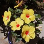 Exubérance &quot;width =&quot; 150 &quot;height =&quot; 150 &quot;/&gt;</a></p><p>Il a de grandes fleurs multicolores qui ont près de 7 à 9 pouces de large. La fleur fleurit dans des couleurs comme le jaune, l&#39;orange, le rouge et le rose.</p><p> <strong>20. Beauté de la plage</strong></p><p> <a href=