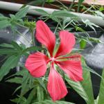 Hibiscus Coccineus &quot;width =&quot; 150 &quot;height =&quot; 150 &quot;/&gt;</a></p><p>Hibiscus Coccineus est également connu sous le nom d&#39;hibiscus Texas Star. Il pousse jusqu&#39;à 7 pieds de haut et produit des fleurs rouges, de 3 à 4 pouces de diamètre.</p><p> <strong>15. Hibiscus cannabinus</strong></p><p> <a href=
