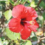 Hibiscus Sabdariffa &quot;largeur =&quot; 150 &quot;hauteur =&quot; 150 &quot;/&gt;</a></p><p>Il est principalement cultivé dans les jardins et est l&#39;une des variétés les plus populaires d&#39;hibiscus. Il est également connu comme Roselle hibiscus. La fleur est blanche à jaune pâle et a une tache rouge sur chaque pétale.</p><p> <strong>13. Hibiscus Mutabilis</strong></p><p> <a href=