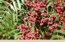 Know about California Peppertree