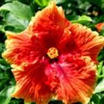 Liqueur de mangue &quot;width =&quot; 150 &quot;height =&quot; 150 &quot;/&gt;</a></p><p>Cet hibiscus hybride a de larges fleurs de 6 à 8 pouces et a des pétales comme de vieilles fleurs ébouriffées. C&#39;est une plante facile à cultiver et qui peut atteindre 7 mètres de hauteur.</p><p> <strong>19. Exubérance</strong></p><p> <a href=