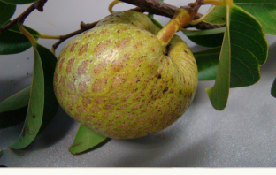 Pond Apple Information, Facts