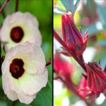 Roselle &quot;width =&quot; 150 &quot;hauteur =&quot; 150 &quot;/&gt;</a></p><p>Cette fleur est communément appelée Indian Roselle. La plante a des fleurs jaunes solitaires et est sans tige. C&#39;est un arbuste annuel ou pérenne poussant jusqu&#39;à 7 à 8 pieds.</p><p> <strong>5. Rose à Sharon</strong></p><p> <a href=