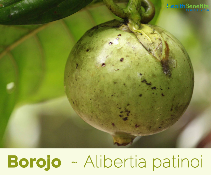 Borojo fruit benefits